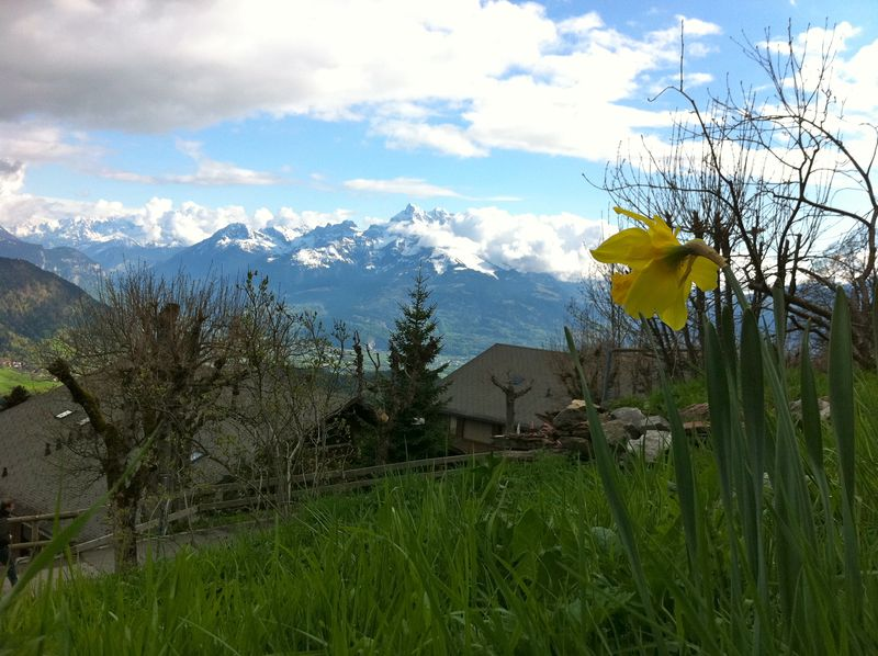 Leysin with daffodil