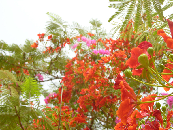 Africa_blooms_3